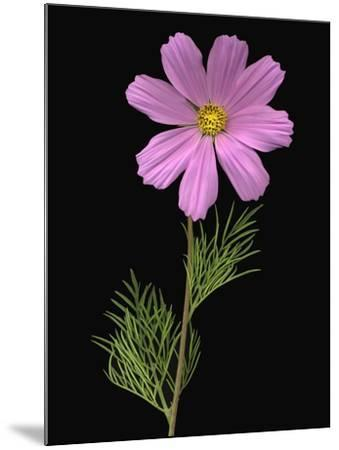 African Daisy--Mounted Photographic Print