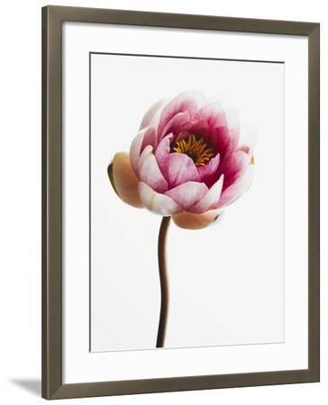 Water lily--Framed Photographic Print