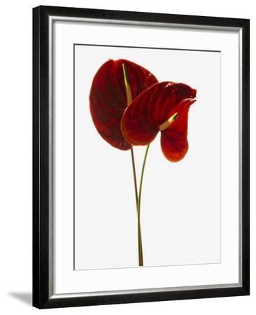 Anthurium--Framed Photographic Print