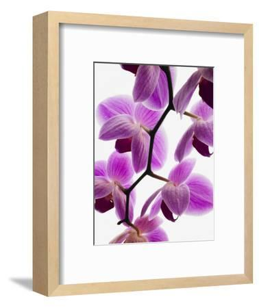 Phalaenopsis orchids--Framed Photographic Print