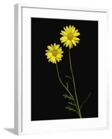 Paris daisies--Framed Photographic Print
