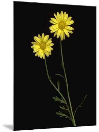 Paris daisies--Mounted Photographic Print