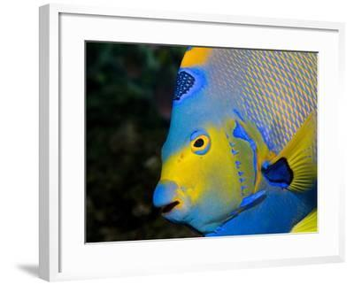 Queen Angelfish (Holacanthus Ciliaris)-Stephen Frink-Framed Photographic Print