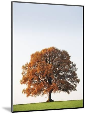 Oak Tree in Meadow-Frank Lukasseck-Mounted Photographic Print