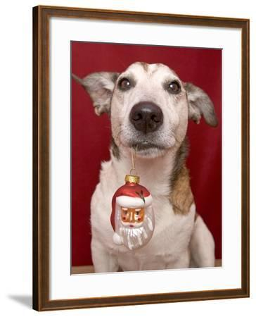 Jack Russell Terrier Holding Christmas Ornament-Ursula Klawitter-Framed Photographic Print