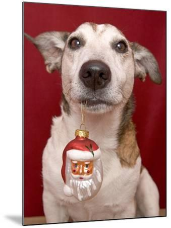 Jack Russell Terrier Holding Christmas Ornament-Ursula Klawitter-Mounted Photographic Print