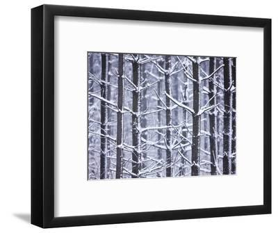 Snow-covered Trees in Forest-Jim Craigmyle-Framed Photographic Print