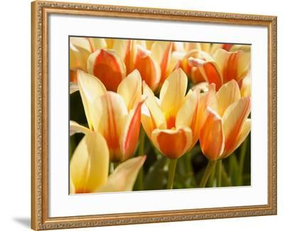 Tulips-Craig Tuttle-Framed Photographic Print