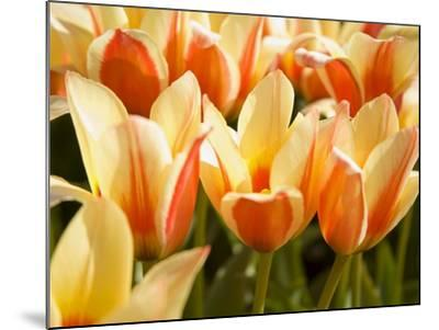 Tulips-Craig Tuttle-Mounted Photographic Print