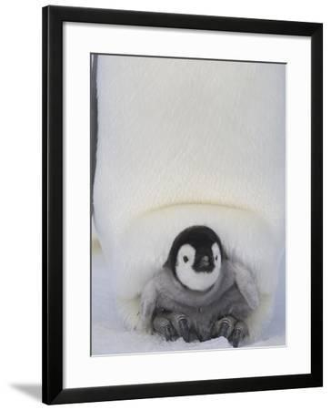 Emperor Penguin Chick on Mother's Feet-Paul Souders-Framed Photographic Print