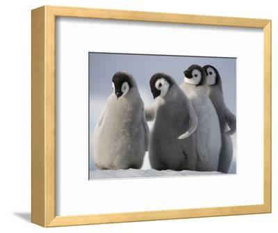 Emperor Penguins in Antarctica-Paul Souders-Framed Photographic Print
