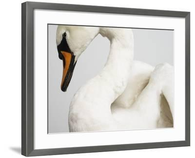 Mounted Swan-J^ James-Framed Photographic Print