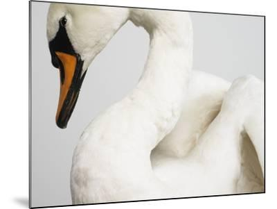 Mounted Swan-J^ James-Mounted Photographic Print