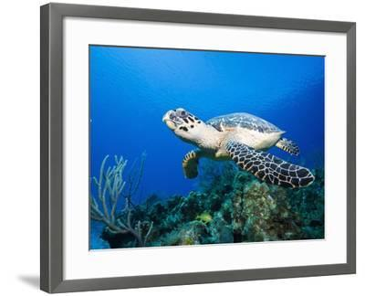 Hawksbill Turtle Swimming above Reef-Paul Souders-Framed Photographic Print