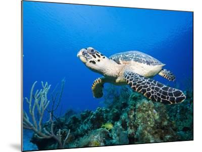 Hawksbill Turtle Swimming above Reef-Paul Souders-Mounted Photographic Print