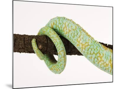 Veiled Chameleon Tail Wrapped Around Twig-Martin Harvey-Mounted Photographic Print