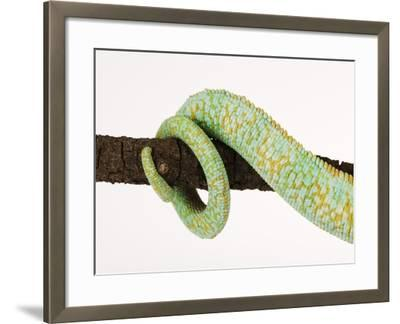 Veiled Chameleon Tail Wrapped Around Twig-Martin Harvey-Framed Photographic Print