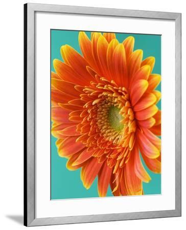 Orange Gerbera Daisy-Clive Nichols-Framed Photographic Print