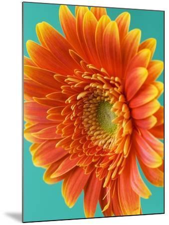 Orange Gerbera Daisy-Clive Nichols-Mounted Photographic Print
