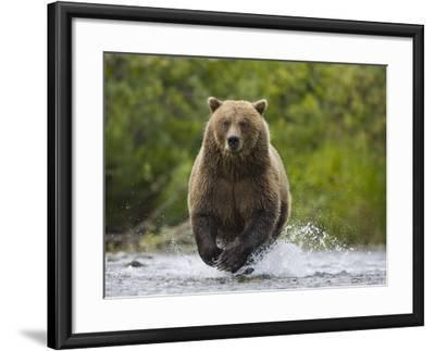 Brown bear running to catch salmon in a river-Theo Allofs-Framed Photographic Print