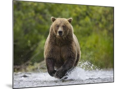 Brown bear running to catch salmon in a river-Theo Allofs-Mounted Photographic Print