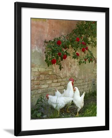 White chickens beneath roses-Mark Bolton-Framed Photographic Print