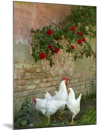 White chickens beneath roses-Mark Bolton-Mounted Photographic Print