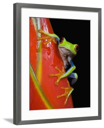 Red-eyed Tree Frog-Kevin Schafer-Framed Photographic Print