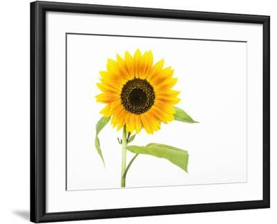 Sunflower-Frank Lukasseck-Framed Photographic Print