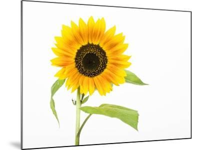 Sunflower-Frank Lukasseck-Mounted Photographic Print