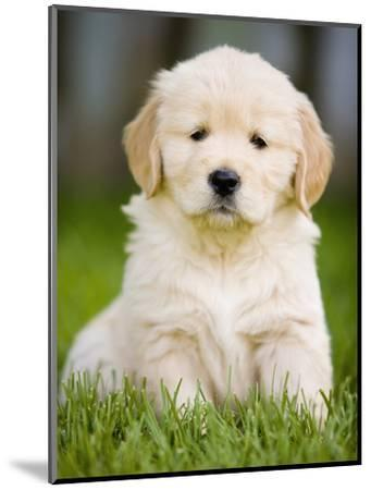 Golden Retriever Puppy-Jim Craigmyle-Mounted Photographic Print