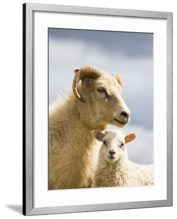 Adult Icelandic Sheep with Lamb-Frank Lukasseck-Framed Photographic Print