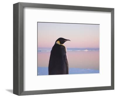 Emperor Penguin on Pack Ice-Keren Su-Framed Photographic Print