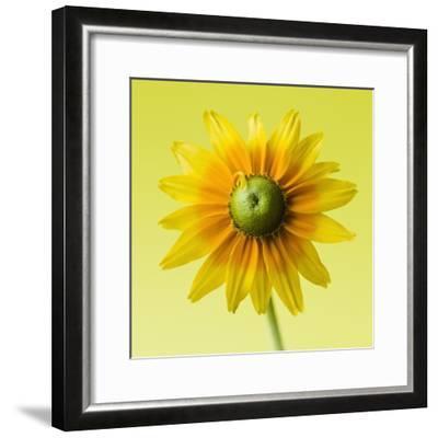 Black-eyed susan-Clive Nichols-Framed Photographic Print