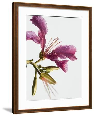 Pink Lily-Steve Hix-Framed Photographic Print