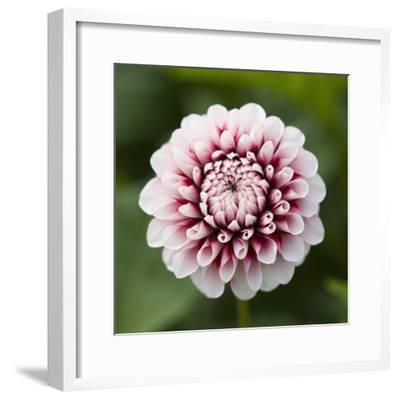 Pink Dahlia Tip Toe-Clive Nichols-Framed Photographic Print