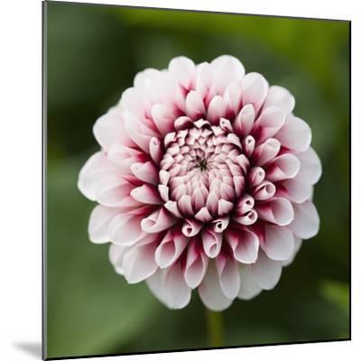 Pink Dahlia Tip Toe-Clive Nichols-Mounted Photographic Print