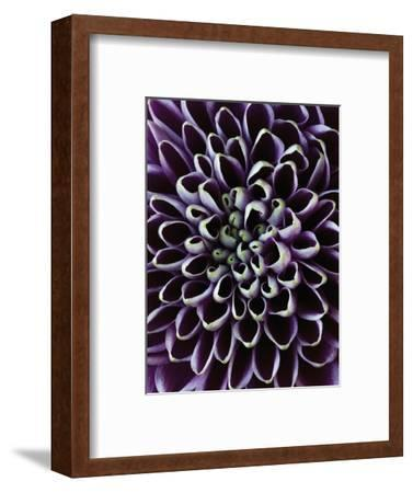 Close-up of Chrysanthemum Flower-Clive Nichols-Framed Photographic Print