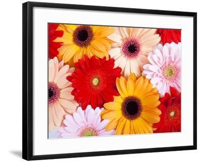 Gerbera daisies-Frank Lukasseck-Framed Photographic Print