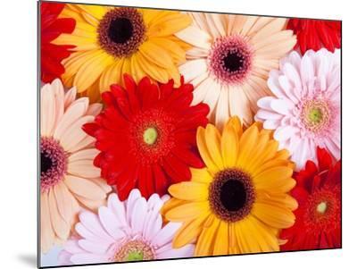 Gerbera daisies-Frank Lukasseck-Mounted Photographic Print