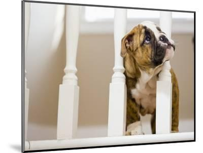 Bulldog puppy with head between balusters-Jim Craigmyle-Mounted Photographic Print