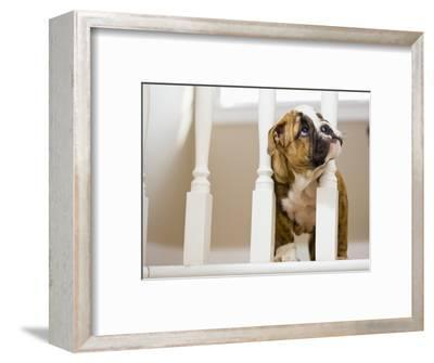 Bulldog puppy with head between balusters-Jim Craigmyle-Framed Photographic Print