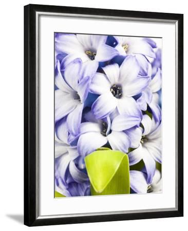 Purple hyacinth-Frank Lukasseck-Framed Photographic Print