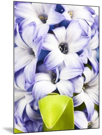 Purple hyacinth-Frank Lukasseck-Mounted Photographic Print