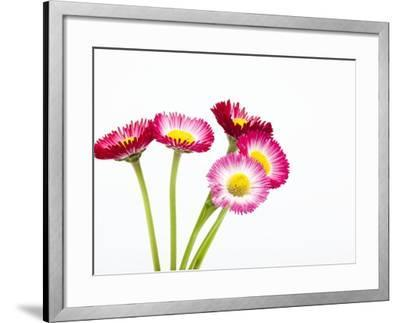 Daisy flowers-Frank Lukasseck-Framed Photographic Print