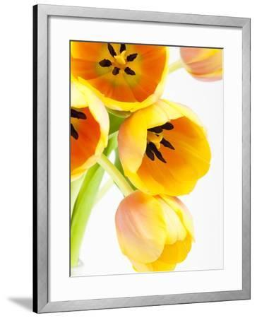Yellow and orange tulips-Frank Lukasseck-Framed Photographic Print