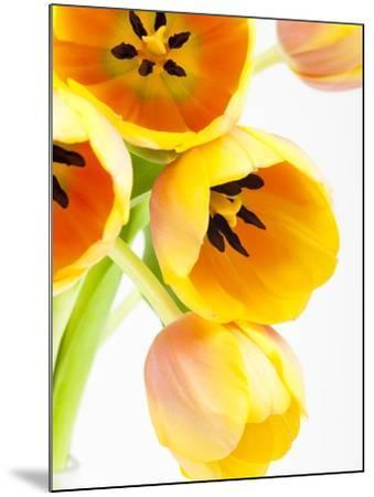 Yellow and orange tulips-Frank Lukasseck-Mounted Photographic Print