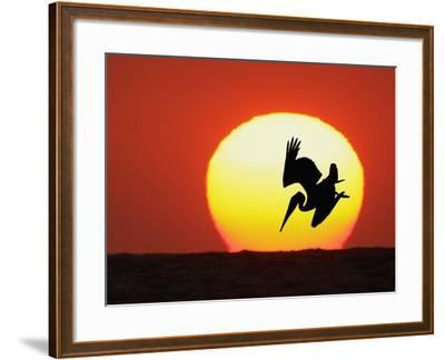 Brown Pelican Diving in Front of Setting Sun-Arthur Morris-Framed Photographic Print