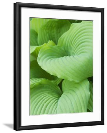 Piedmont Gold hosta leaves-Clive Nichols-Framed Photographic Print