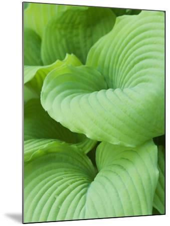 Piedmont Gold hosta leaves-Clive Nichols-Mounted Photographic Print